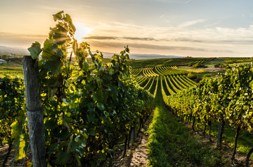 Photo sur Toile Vignoble Weinberg in Rheinhessen im Sonnenuntergang