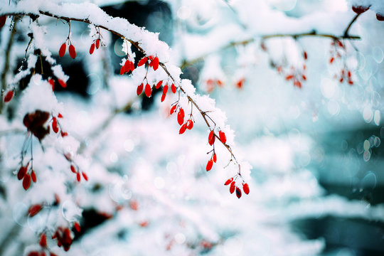 Barberry. Barberry in the snow.