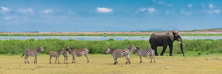 A large elephant coming out of the river, all wet, in the marshes in Tanzania, with a herd of zebras Wall mural