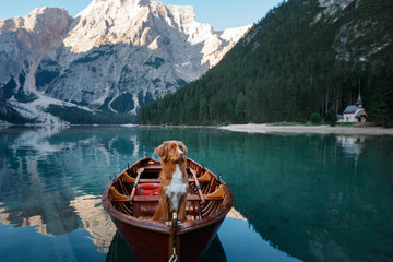 Nova Scotia Duck Tolling Retriever at the Lake Braies mountain lake in Italy. hiking and traveling with a dog.