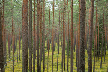 City Cesis, Latvia. Pine forest with trees and green moss. Travel photo 2. november 2019.