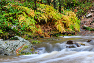Ferns in autumn on the Eresma river in Valsain, Segovia at the place called Boca del Asno