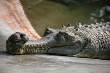 Fotorolgordijn Krokodil Crocodile