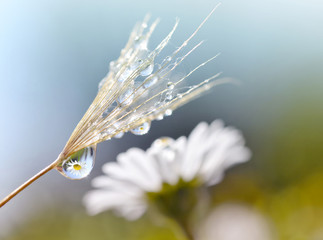 Wall Mural - Dewy dandelion seed closeup. Daisy flower reflection in dew drops. Spring nature background.