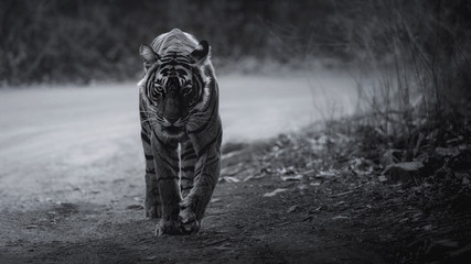 Artistic, black and white photo of royal bengal tiger, Panthera tigris tigris, for fineart prints, close up to photographer with a touch of beautiful nature environment.