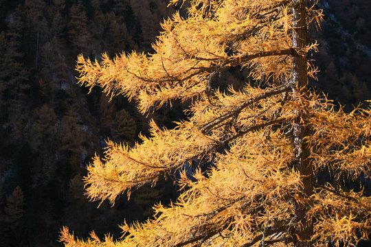European larch (Larix decidua) yellow branches, sun lit in Bucegi moutnains (Carpathians), Romania, late autumn.