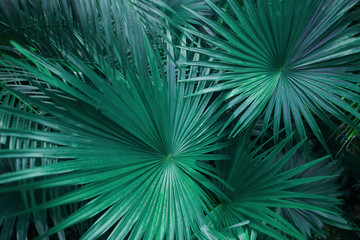 Fotomurales - turquoise green palm leafs on tropical country shoot