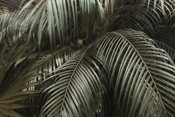 Fotomurales - Tropical dark brown palm Leaves in exotic endless summer country