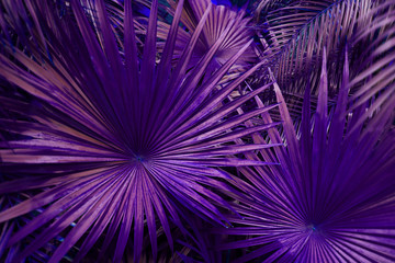 Wall Mural - Tropical purple palm Leaves in exotic endless summer country