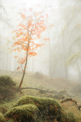trees in the fog, alpine flora, a mysterious and intimate atmosphere