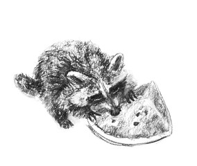 Charcoal pencil drawing the racoon eating the watermelon