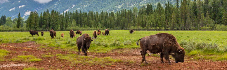 Keuken foto achterwand Bison Panorama Herd of American Bison or Buffalo Panoramic Web Banner