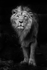 Black and white minimalistic noir photo of a man with  powerful male lion in night darkness, isolated on black background