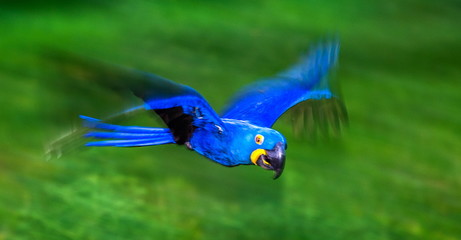 Garden Poster Brazil Hyacinth Macaws in flight. South America. Brazil. Pantanal National Park.