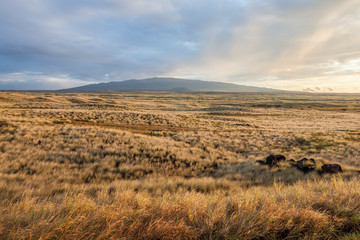 Golden dry grass landscape in the steppe with a hill on the horizon at sunset
