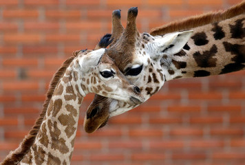 A newly born baby Rothschild's giraffe is seen inside its enclosure in Liberec