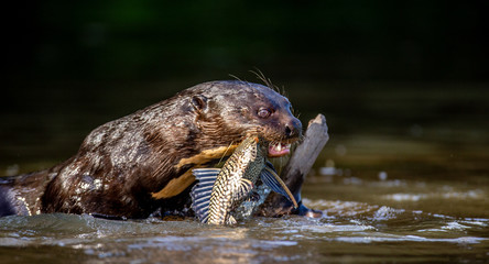 Giant otter eats fish in water. Close-up. Brazil. Pantanal National Park.