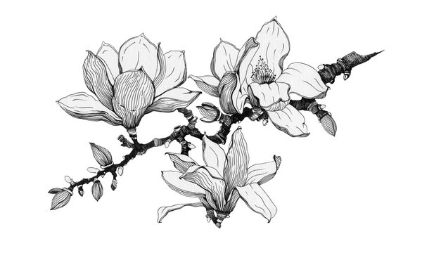 Magnolia branch with flowers black ink illustration. Hand drawn graphic spring beautiful blossoms in a full bloom with buds on a branch. Isolated on the white background.