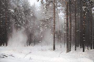 Spoed Foto op Canvas Wit beautiful coniferous forest littered with the first snowfall