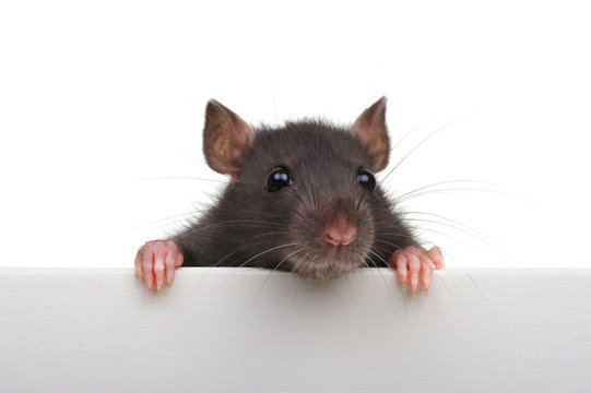 Funny rat isolated on white background.