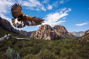 Harris's Hawk (Parabuteo unicinctus) in Flight Preparing to Land Wall mural