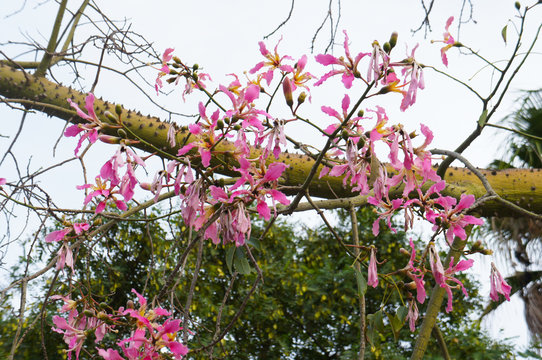Chorisia speciosa or silk floss tree blossoming pink