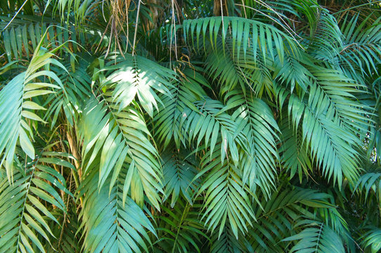 Chamaedorea elegans or parlour palm green leaves