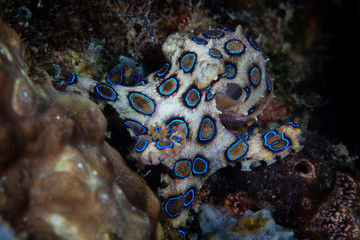 Wall Mural - A Blue ring octopus, Hapalochlaena lunulata, crawls over a coral reef in Komodo National Park, Indonesia. This cephalopod is the most venomous invertebrate species on Earth.