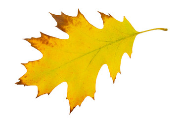 Yellow and green real oak tree autumn fall leaf isolated on white background.