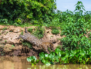 Wall Mural - Jaguar attacks its victim. Jump into the water from the shore. South America. Brazil. Pantanal National Park.