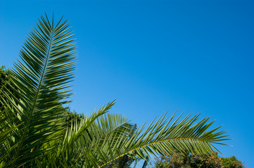 Green holly leaves of a palm tree in the form of a triangular frame on a background of blue clear sky