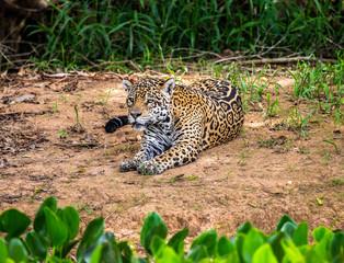 Wall Mural - Jaguar lies on the ground among the jungle. Close-up. South America. Brazil. Pantanal National Park.
