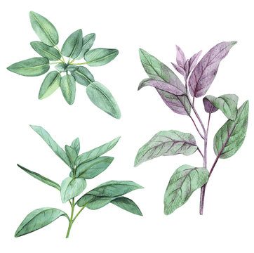 Sage, salvia. Set of leaves. Hand drawn