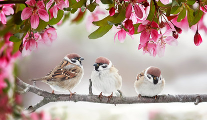 Papiers peints Oiseau natural beautiful background with three small funny birds sparrows sitting on a branch blooming with pink buds in a may spring garden