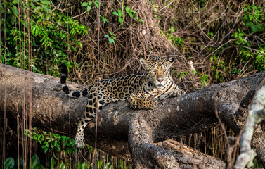 Fototapete - Jaguar lies on a picturesque tree in the middle of the jungle. South America. Brazil. Pantanal National Park.
