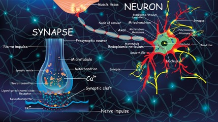 Anatomy neyron and synapse. Signaling in the brain. Cells neyron and synapse with descriptions. Structure neyron for educational, medical, biological use.Transmission of impulses in a living organism