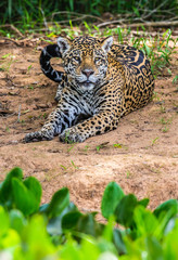 Fototapete - Jaguar lies on the ground among the jungle. Close-up. South America. Brazil. Pantanal National Park.