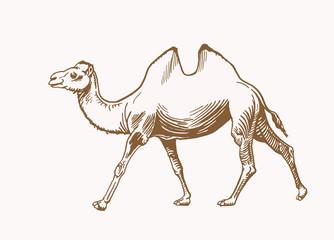 Graphical vintage camel, sepia vector illustration,desert animal