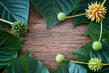 Mitragyna speciosa or kratom leaves is drug from plant.