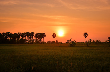 Fotobehang Oranje eclat Landscape with rice fields and black silhouette sugar palm at sunset time in Thailand countryside