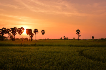 In de dag Oranje eclat Landscape with rice fields and black silhouette sugar palm at sunset time in Thailand countryside