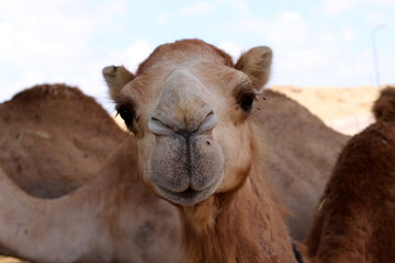 Photo sur Plexiglas Chameau one-humped camels live in a nursery in a Bedouin village in the Negev desert in southern Israel