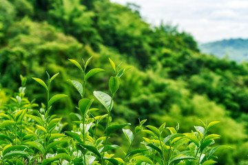 Close up of fresh green tea leaves growing on hill at tea plantation