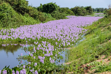 Lagoon covered with purple Water hyacinths in bloom, Pantanal Wetlands, Mato Grosso, Brazil