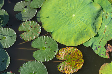Picture of lotus sheets floating on water - close up