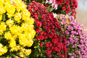 Background of colorful flowers chrysanthemums