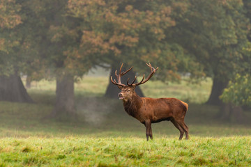Papiers peints Cerf Red deer stag in the autumn forest