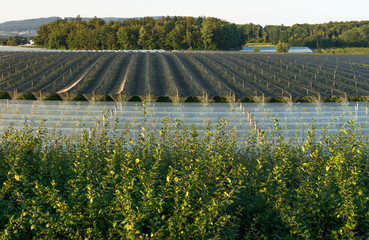 Obstplantage bei Frenckenbach am Bodensee