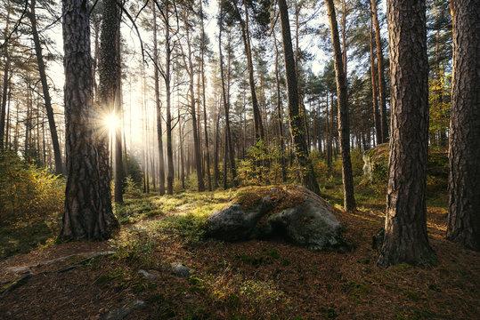 Sonnenaufgang im Kiefernwald bei Morgennebel