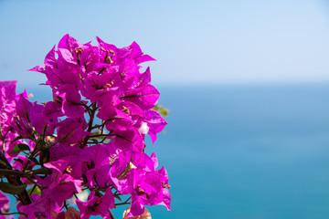 buganvillea fiorita, costa ligure, Italia